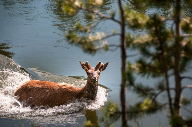 Yellowstone Elk in the River