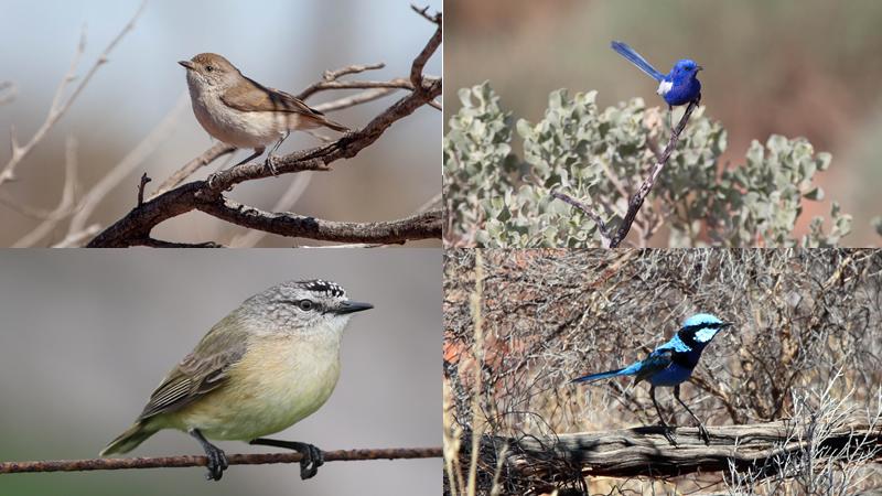 Thornbills and fairy wrens