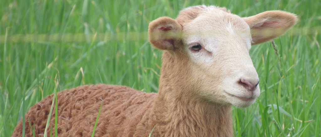 Sheep from Abiding Acres Farm in Delavan Wisconsin