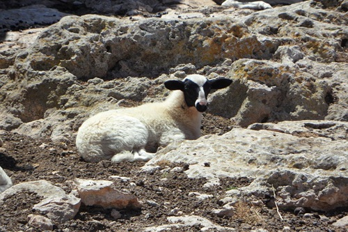 The Lonely Lamb