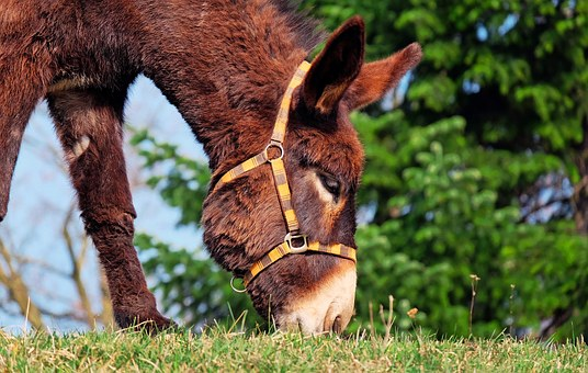 mule with bridle eating grass