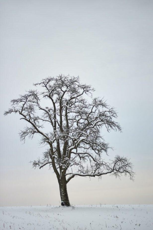 solo oak tree in snow