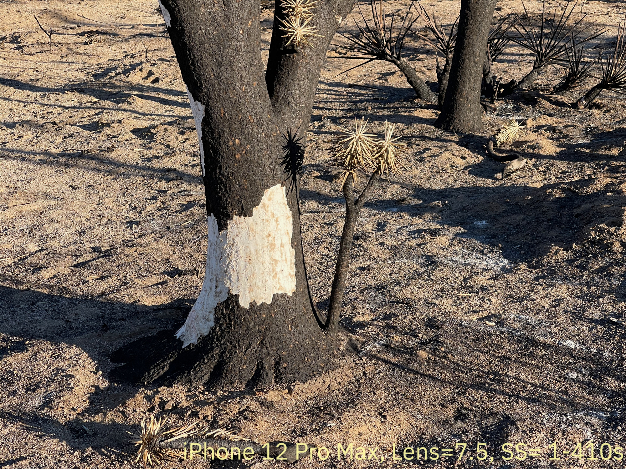 iPhone 11 vs 12 In the Burned Joshua Tree Forest