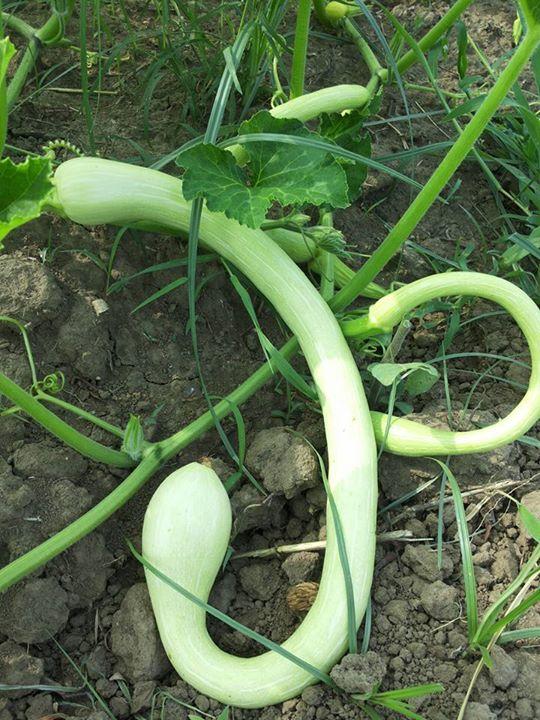 L'orto è in festa con la nostra Zucchina Trombetta – ABIM