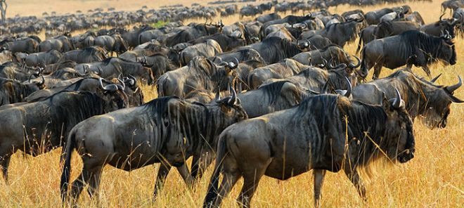 pic of migrating Wildebeest