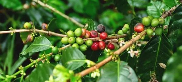 Hacienda-Venecia-017 Hacienda Venecia  -  Caldas, Colombia Colombia Zona Cafetera  Hotel Farm Colombia Coffee