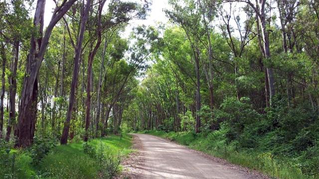 eucalyptuswald