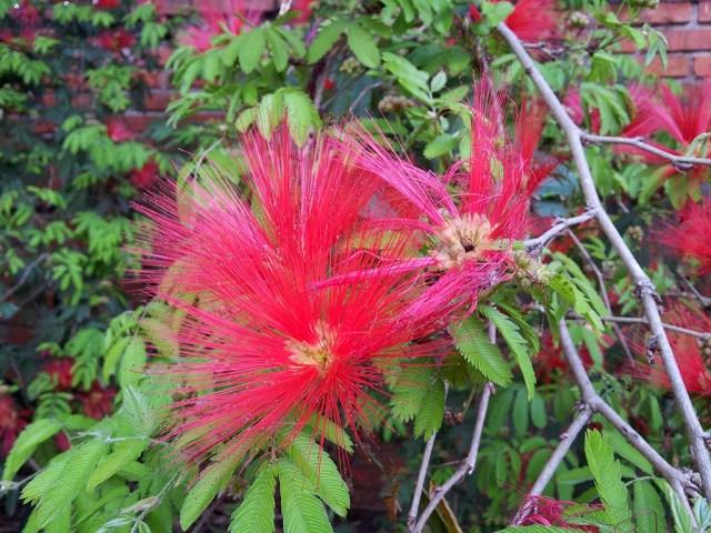 Blühende Mimose