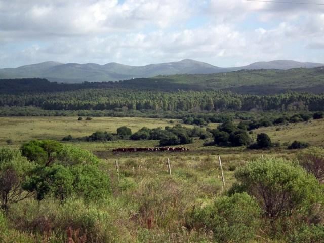 Uruguay Idylle mit Rindern