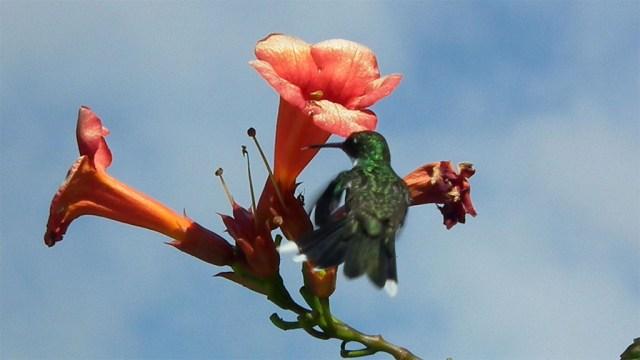 Picaflor  - Kolibri