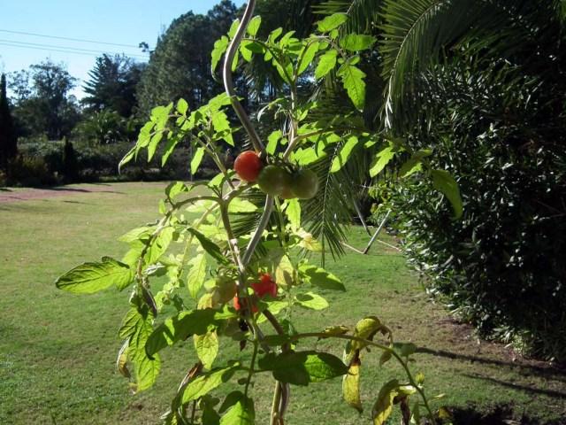 Tomaten auch im Winter :-)