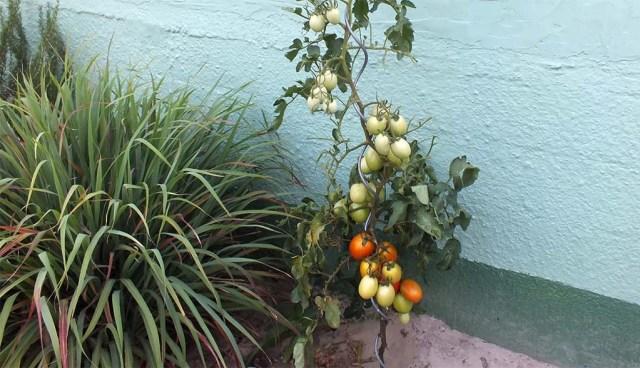 Perita-Tomaten