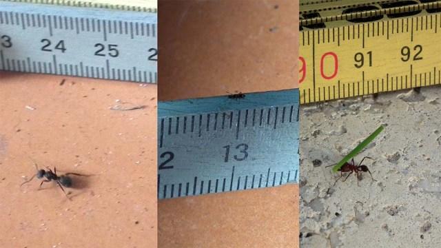 verschiedene Ameisen, die Kleinsten und die Größten fehlen hier aber.