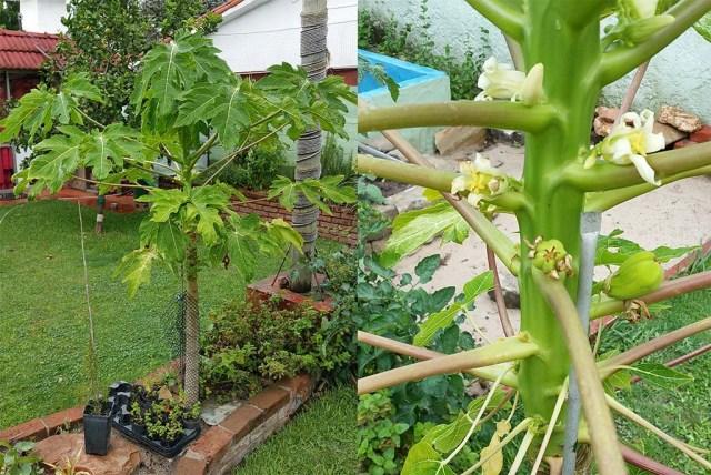 Papaya mit den ersten Früchten
