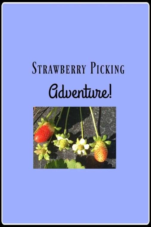 Strawberry Pickig