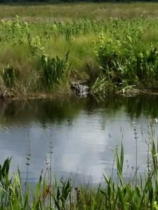Visit deland florida alligator