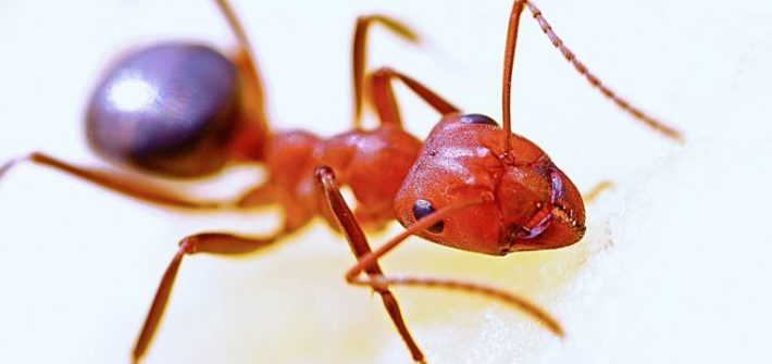 Red Ant Insect