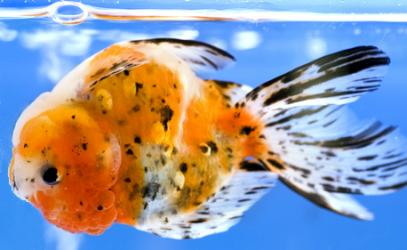 I Would Try Adding The Antimicrobial S To Food Feeding Directly Get Medicine Inside Fish Necessary