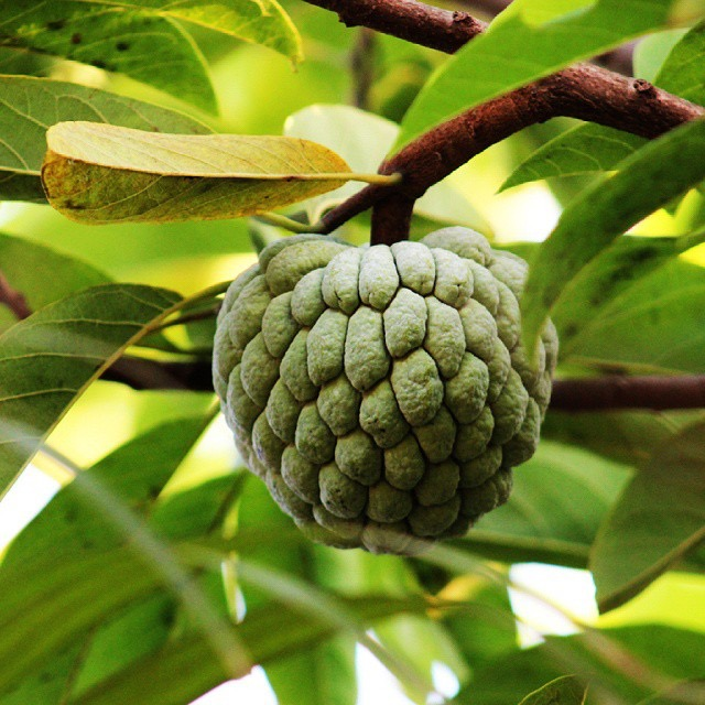 Atis Fruit on Tree Branch