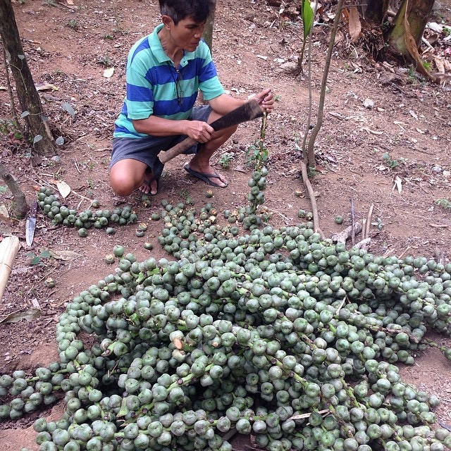 Man Harvesting Kaong