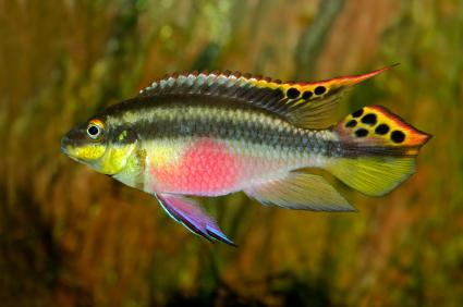 male kribensis African cichlid