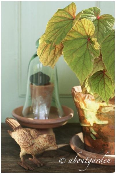 Begonia evansiana