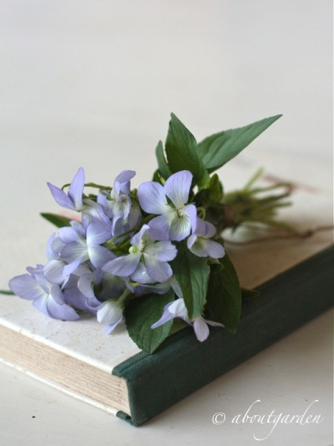 Violette spontanee