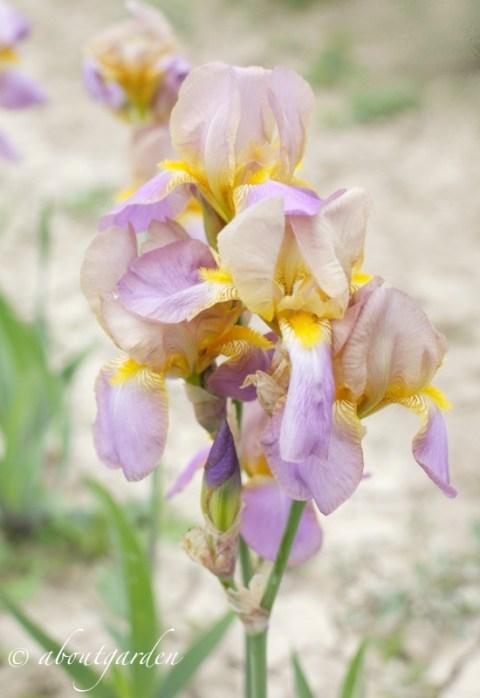 fiore Iris 'Quaker Lady'