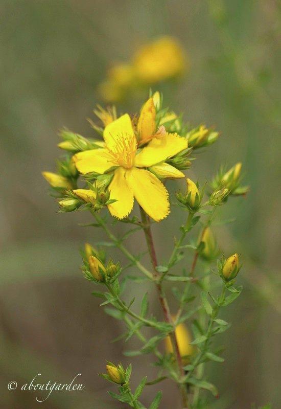fiore di iperico