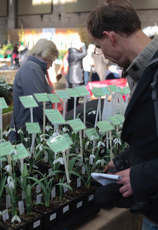 stand Galanthus