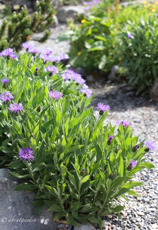 scorcio con Centaurea montana