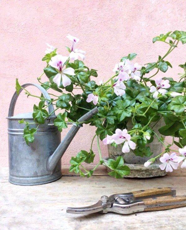 pelargonium peltatum S. Chiarugi