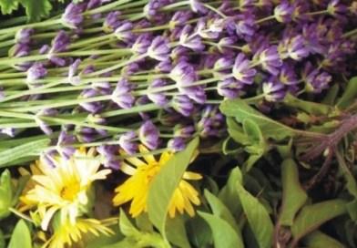 Αλβανοί «κυνηγοί» βοτάνων θερίζουν τον Γράμμο – Απειλούνται με εξαφάνιση τα τα σπάνια αρωματικά φυτά της περιοχής