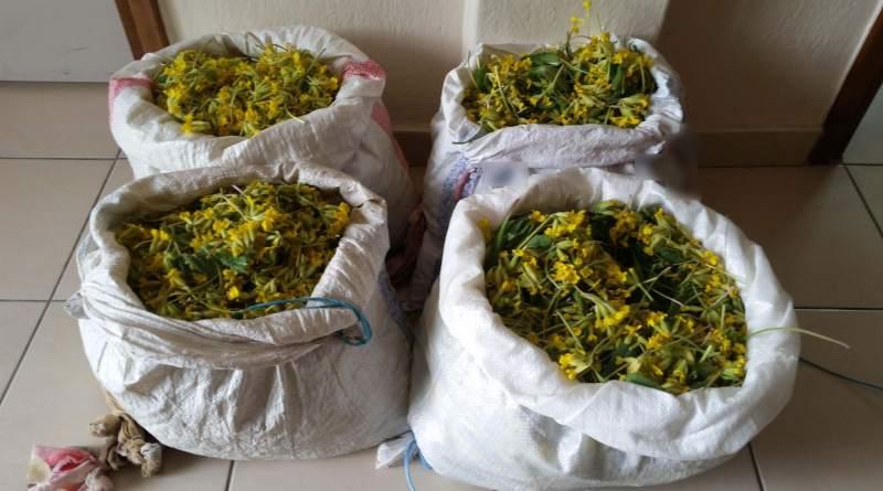 Συνελήφθησαν στον Γράμμο 4 αλλοδαποί για παράνομη συλλογή ποσότητας αρωματικού-θεραπευτικού φυτού