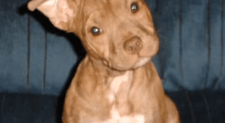 The Red Nose Pit Bull Terrier: Is it a breed? Red Nose vs
