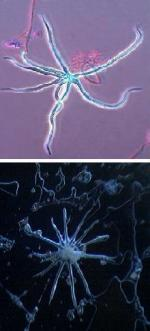 Blue mold starfish (top) compared to Blue's starfish (below)
