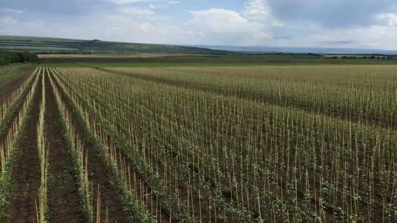 Новые виноградники Ставрополья