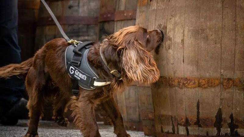 Собачья работа: William Grant & Sons наняли кокер-спаниеля