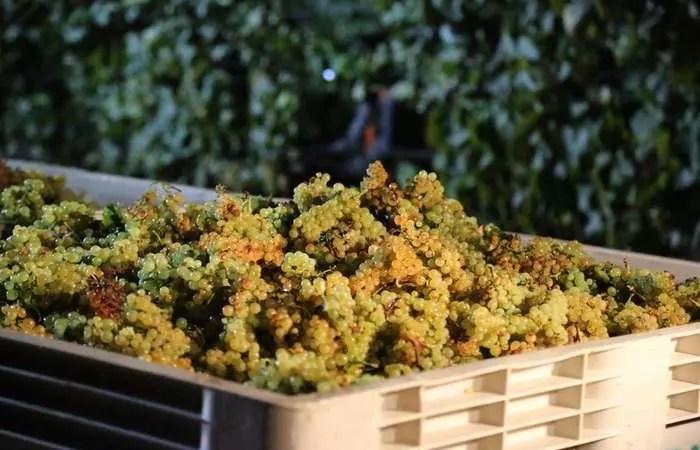 Рост цен на виноград приведет к подорожанию российского вина
