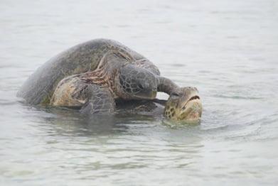 Turtles, Wilson Island