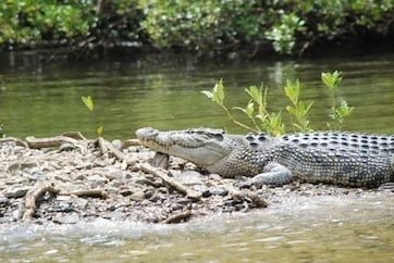 A Bloomfield River crocodile