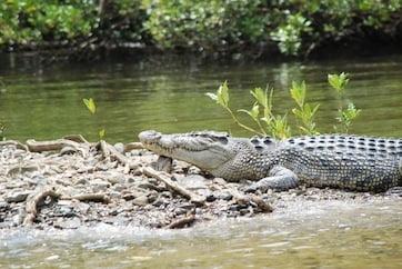 A Bloomfield River crocodile