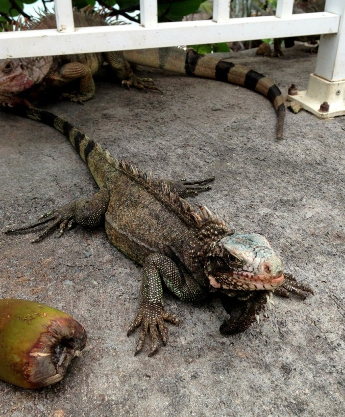 iguana in St. Thomas