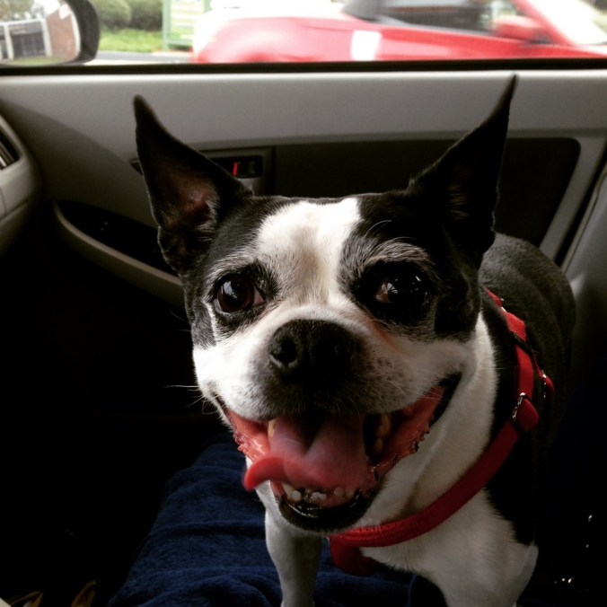 boston terrier on a road trip