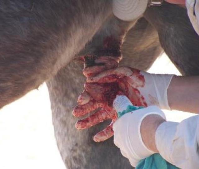 Apparently They Strike The Ground And Refelct Up Under The Horse Horses With Pink Skin Underneath Are Susceptible To This