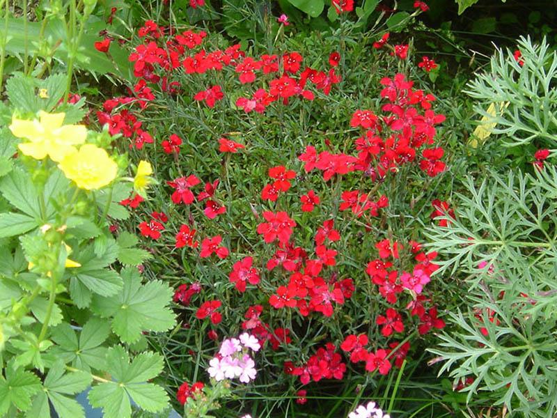 plante de rocaille vivace plein soleil