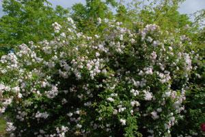 rosiers lianes sans épines