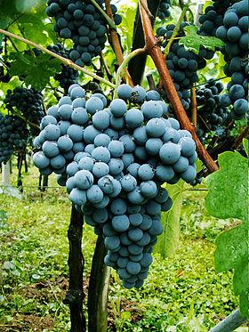 variété de raisin pour treille