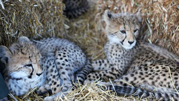 Baby Cheetahs in South Africa