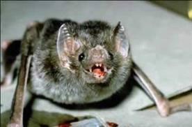 El principal transmisor de la rabia silvestre es el murciélago.